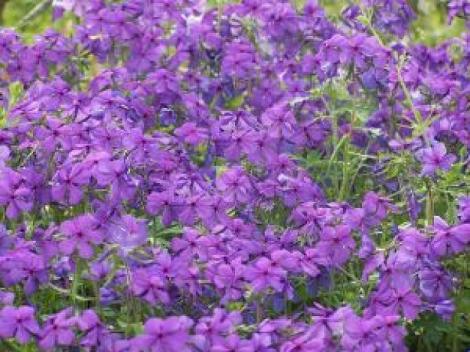 Violets 75%